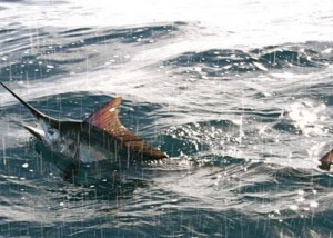 Another Gold Coast black marlin.