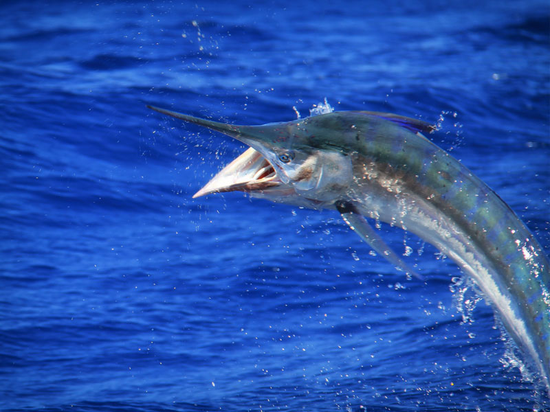 small-black-marlin