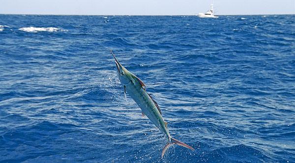 Townville fishing charters for black marlin on KEKOA.