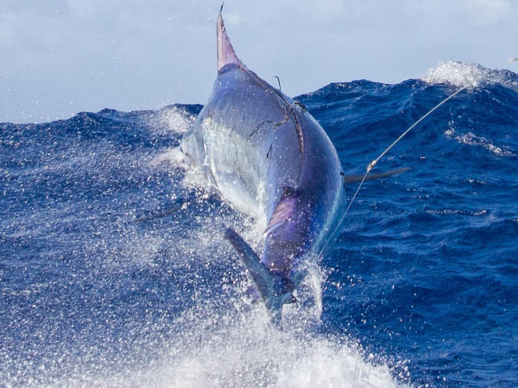 2016 Giant Black Marlin Season Fully Booked » KEKOA Sports ...