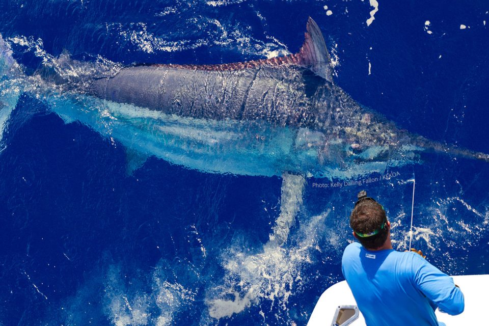 Giant Black Marlin Cairns