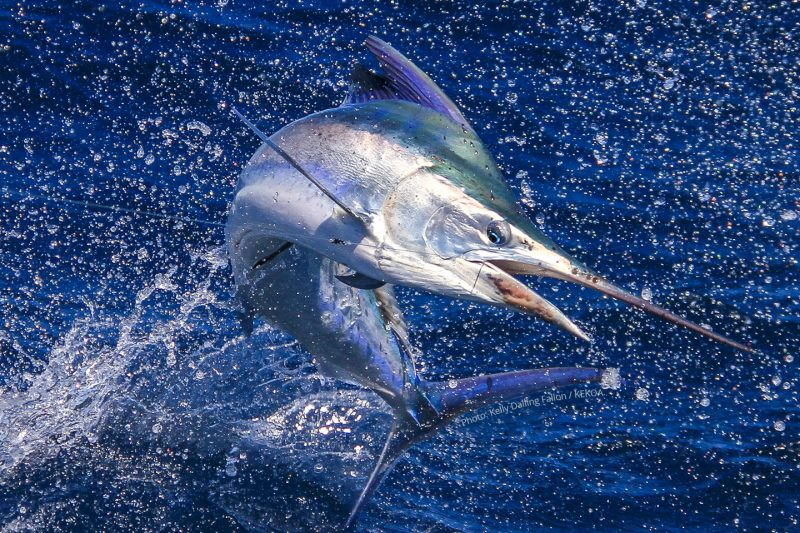 Light Tackle Black Marlin