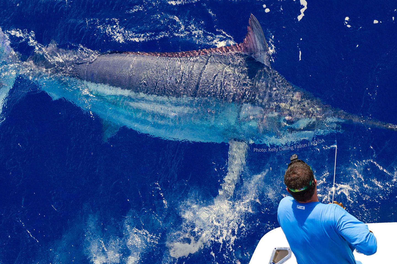Giant Black Marlin | KEKOA Sports Fishing Charters