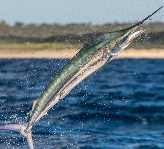 Juvenile black marlin jumping with sand of Fraser island behind.