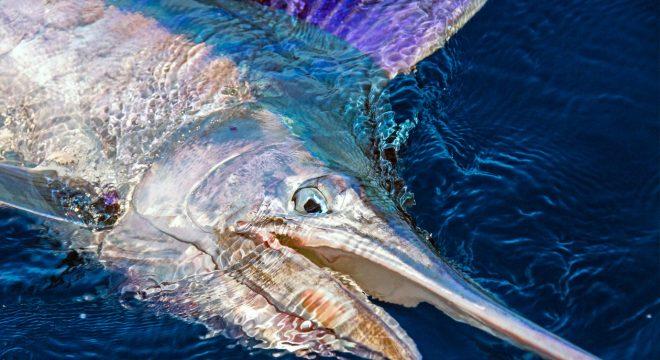 coloured up juvenile black marlin